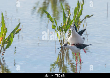 Black Winged Stilt Bird Mating Rituals and Courtship(Himantopus himantopus) - Stock Photo