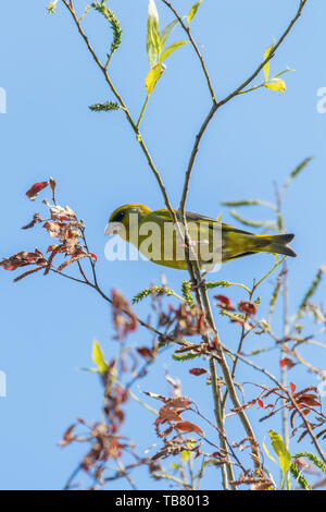 Greenfinch (Carduelis chloris) perched on tree - Stock Photo