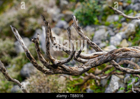 The struggle for survival a tree struggles with hardship. Photographed in Crete, Greece - Stock Photo