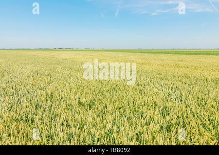 Green wheat field on sunny day. - Stock Photo