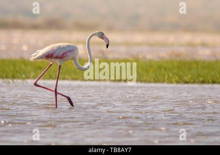 A greater flamingo (phoenicopterus roseus) walking through shallow waters in Isimangaliso Wetlands park, St. Lucia, South Africa. - Stock Photo