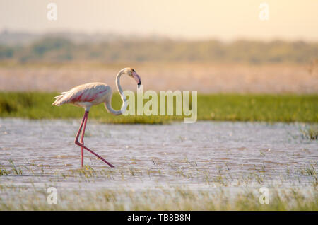 A greater flamingo (phoenicopterus roseus) perfectly posed, walking through shallow waters in Isimangaliso Wetlands park, St. Lucia, South Africa. - Stock Photo