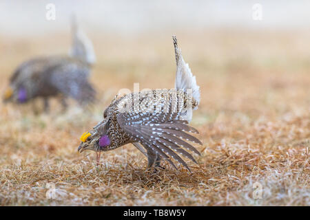 Male sharp-tailed grouse dancing on a lek in Namekagon Barrens (Danbury, Wisconsin). - Stock Photo