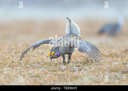 Male sharp-tailed grouse dancing on a lek in the Namekagon Barrens Wildlife Area. (Danbury, Wisconsin). - Stock Photo