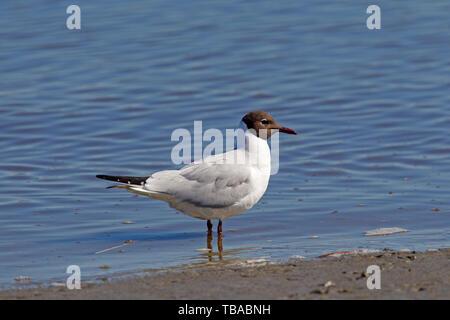 Black-headed gull (Chroicocephalus ridibundus / Larus ridibundus) in breeding plumage foraging along the beach in spring - Stock Photo