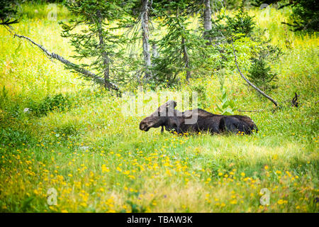 Moose relaxing by summer yellow wildflowers in green grass and pine tree forest in Albion Basin by Salt Lake City, Utah - Stock Photo