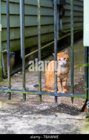 Stray orange white tabby cat on sidewalk street in New Orleans, Louisiana hungry and sad looking through bars of fence - Stock Photo