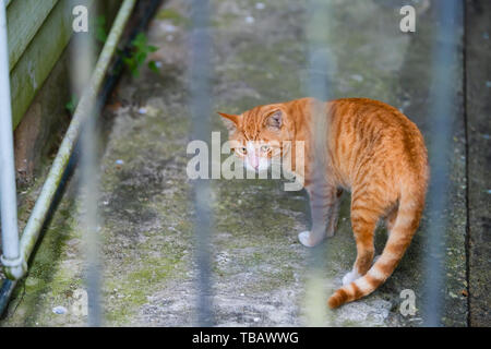 Stray orange white tabby cat on sidewalk street in New Orleans, Louisiana hungry and sad looking back through bars of fence - Stock Photo