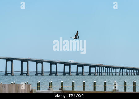 One young Juvenile Eastern Brown Pelican bird flying above Pensacola Bay in Navarre by wharf with bridge road in Florida Panhandle of Emerald Coast - Stock Photo