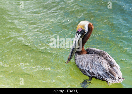 One young Juvenile Eastern Brown Pelican bird portrait closeup isolated swimming in Florida Panhandle bay at Destin Harborwalk village with red eye - Stock Photo