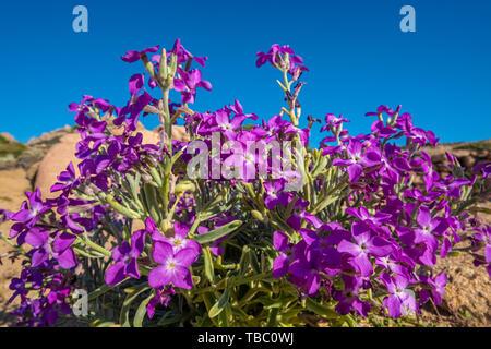 Wild beach flowers, Costa Paradiso on the North Coast of Sardinia between Santa Teresa di Gallura and Castelsardo, Italy - Stock Photo