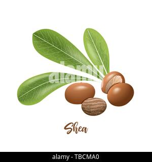 Shea nuts and leaves. shi tree pods whole and peeled. Vitellaria paradoxa. Card template copy space. Oilplant - Stock Photo