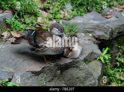 Hangzhou, Hangzhou, China. 1st June, 2019. Hangzhou, CHINA-Although the mother mandarin duck is hurt by a cat, the mother mandarin duck tries to protect the little mandarin ducks away from the cats in Hangzhou, east China's Zhejiang Province. Credit: SIPA Asia/ZUMA Wire/Alamy Live News - Stock Photo