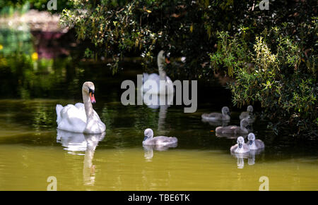 Brighton UK 1st June 2019 - A Mute Swan takes their cygnets for a day out on Queens Park pond in Brighton as they enjoy the hot sunshine with temperatures forecast to reach 28 degrees in some parts of the South East today . Credit : Simon Dack /Alamy Live News - Stock Photo
