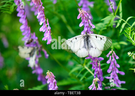 Clouded Apollo (Parnassius mnemosyne) butterfly, a species of swallowtail butterflies (Papilionidae) family, found in the Palearctic ecozone. Location - Stock Photo