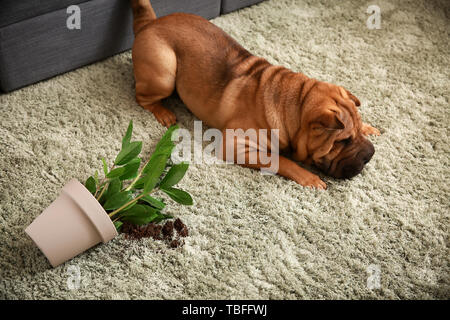 Naughty dog and dropped houseplant on carpet in room - Stock Photo