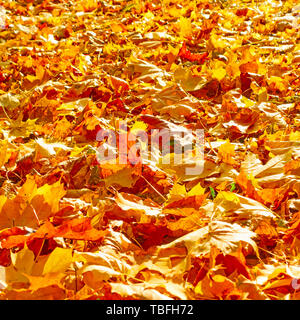 Yellow fallen maple leaves on the ground - Stock Photo