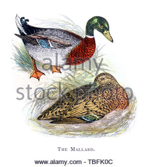 Mallard (Anas platyrhynchos), vintage illustration published in 1898 - Stock Photo