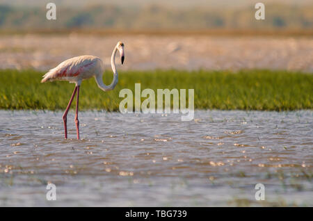 A greater flamingo (phoenicopterus roseus) standing in shallow waters in Isimangaliso Wetlands park, St. Lucia, South Africa. - Stock Photo