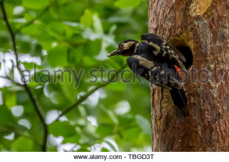A female Great Spotted Woodpecker  (Dendrocopos major) leaves after feeding a chick nesting  in a pine tree. - Stock Photo