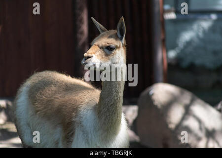 wild camel brown guanaco in Moscow zoo, close-up portrait - Stock Photo