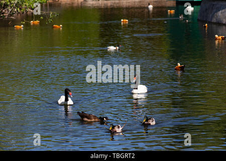 Swans ducks geese swim in a green pond on a spring day in the Moscow zoo - Stock Photo