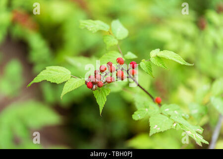 Red raspberry fruit in the wild - Stock Photo