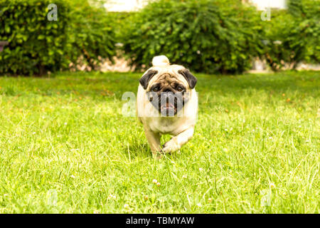 Cheerful pug dog running through the green grass - Stock Photo