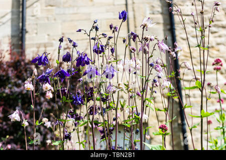 A view of purple and pink Aquilegia flowers, grannies bonnets from below - Stock Photo