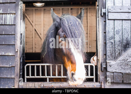 Beautiful Shire breed British black brown and white horse head looking from the stable with hay in the hair - Stock Photo
