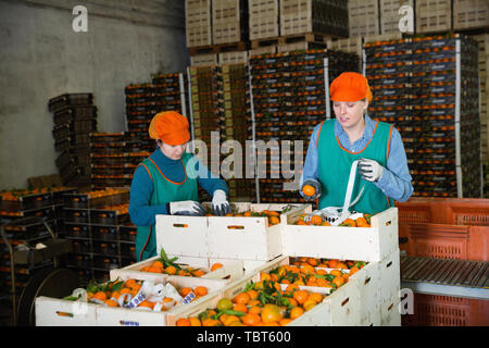Two diligent positive cheerful smiling female employees of fruit warehouse in colored uniform labeling fresh ripe mandarins in crates - Stock Photo