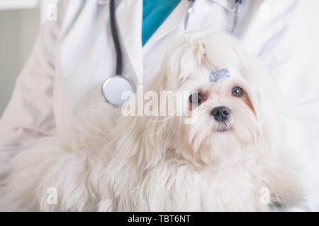 Little maltese dog at the vet office, vet with stethoscope in the background - Stock Photo