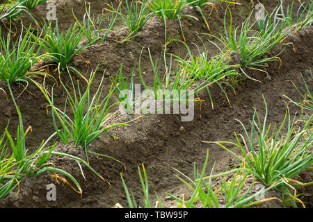 Rows of fresh young chives in spring garden at sunny day - Stock Photo