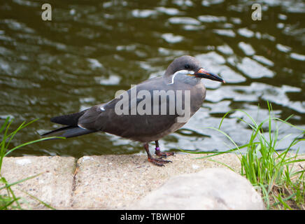 Close-up of the inca tern Larosterna inca , gray bird, with white, long mustache, sitting on a stone near a reservoir - Stock Photo
