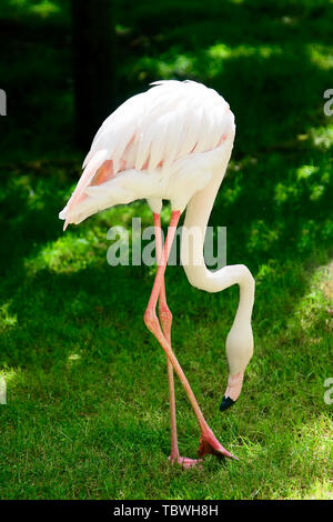 One white flamingo feeding on a green grass field. Close up view. - Stock Photo