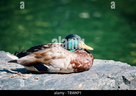 Closeup profile portrait of a mallard duck resting on a rock near the pond - Stock Photo