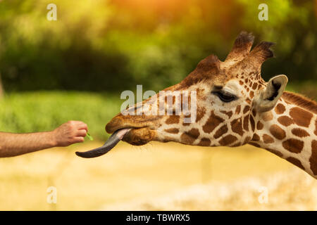 One man feeds giraffe from his hand. Giraffe sticked out tongue - Stock Photo