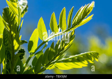 Fresh sprout with small green leaves against a blue sky on a sunny spring day - Stock Photo