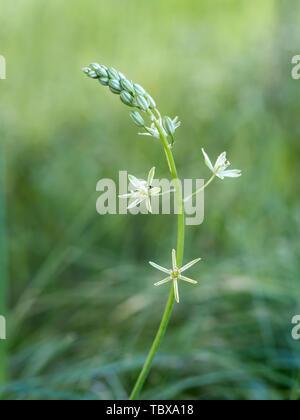 Ornithogalum pyrenaicum aka Prussian, Wild or Bath asparagus, Pyrenees star of Bethlehem, or spiked star of Bethlehem. Wildflower. Edible shoots. - Stock Photo