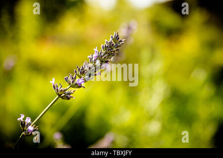 Lavender flower head on Bright green natural background.Lavender bushes closeup on sunset. Sunset gleam over purple flowers of lavender. Provence - Stock Photo