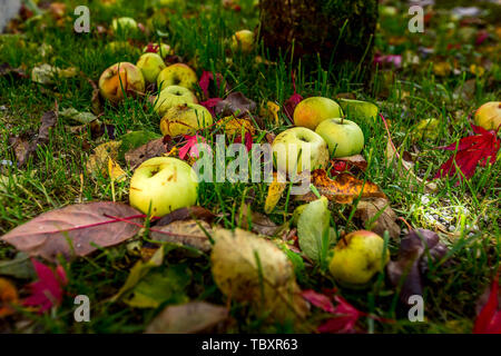 Fallen leaves and apples in green grass lying on the grass autumn background - Stock Photo