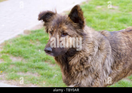 stray dog, big shaggy stray dog - Stock Photo