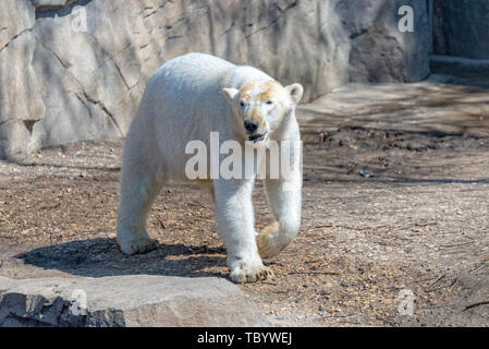 Polar bears females stands on the rock and enjoys the sun Stock Photo