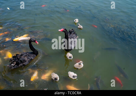 Black swan and baby swan on the lake - Stock Photo
