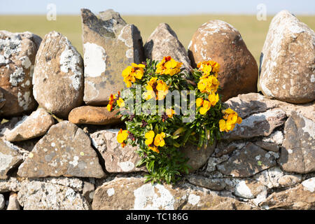 Yellow flowers of wallflower plant, Erysimum cheiri, growing on dry stone wall, Holy Island, England, UK - Stock Photo