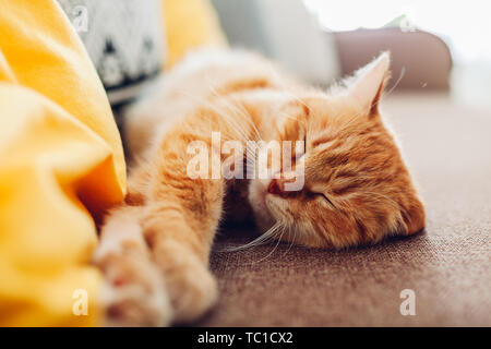 Ginger cat sleepng on couch in living room surrounded with cushions. Pet relaxing at home - Stock Photo
