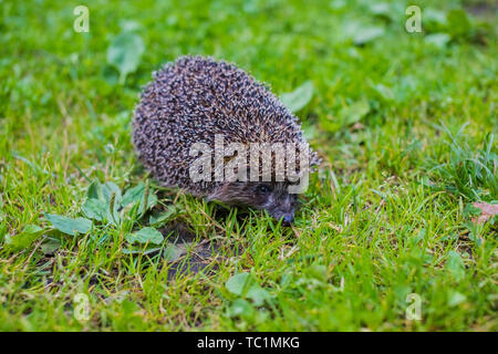 West european hedgehog (Erinaceus europaeus) on a green meadow.Young hedgehog in natural. Curious hedgehog walks in the woods on a sunny summer day. - Stock Photo