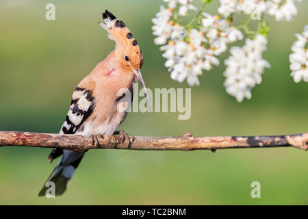 hoopoe sings in the colors of acacia - Stock Photo