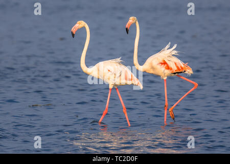Two Flamingo  (Phoenicopterus roseus) birds walking while foraging in shallow water of Camarque Nature reserve, Cote D'Azur, Southern France - Stock Photo