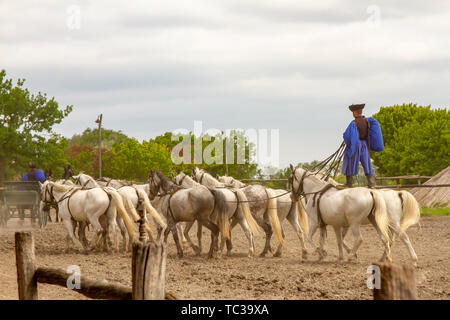 Kalocsa, Puszta, Hungary - May 23, 2019 : Hungarian Csikos equestrian rider performing ten-in-hand, or koch-ten, stunt in corral. - Stock Photo